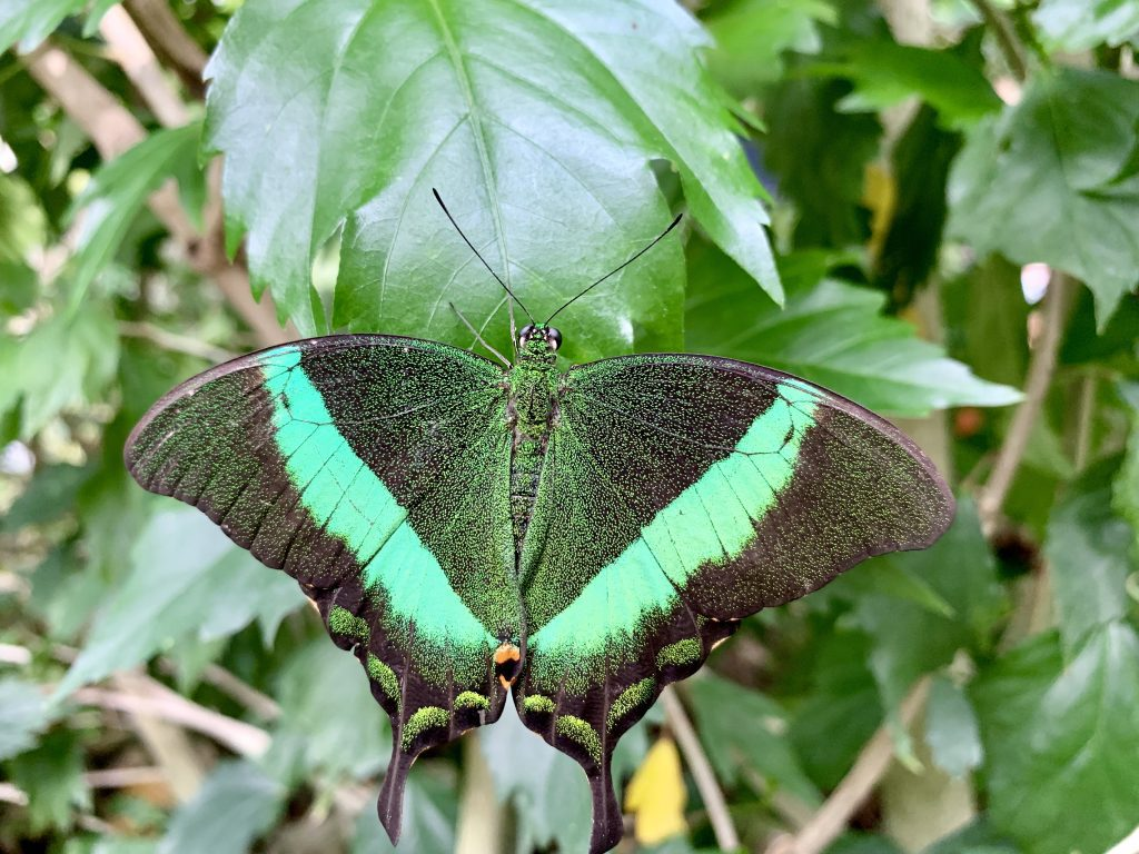 Farfalla mimetizzata