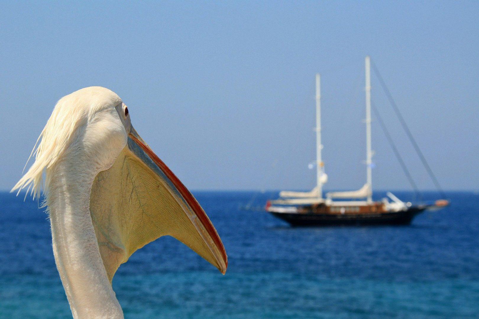 Petros, amico pellicano a Mykonos